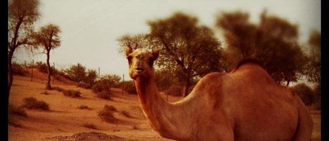 Motorradreisen Dubai Kamel